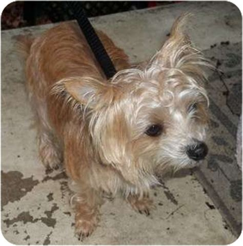 norwich terrier yorkie mix chihuahua norwich terrier mix breeds picture