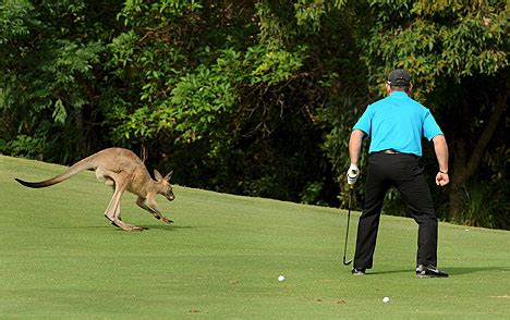 kangaroo swing scratch the golfin caveman s blog 187 lee westwood
