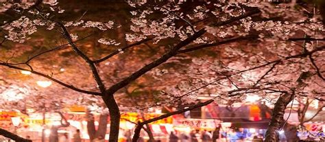 japan guided  package  cherry blossom