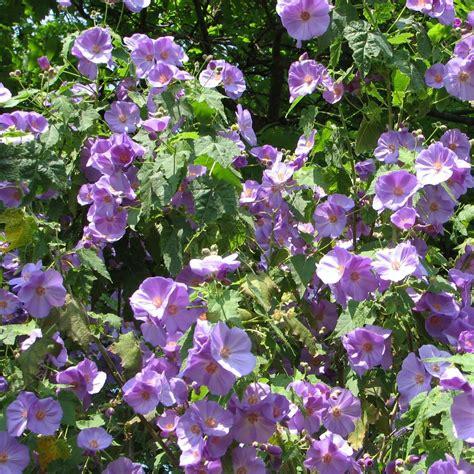 Arbuste En Pot Pour Terrasse Plein Soleil by Arbuste En Pot Plein Soleil Emballage Adapt Escallonia