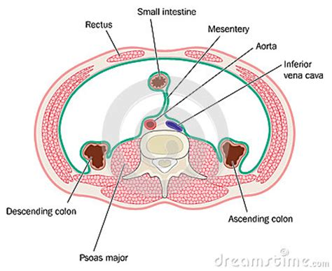 transverse and longitudinal sections of the abdominal cavity cross section through abdominal cavity stock vector
