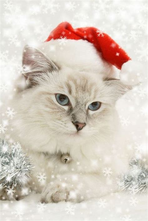 images of merry christmas kittens cute cool pets 4u santa cat pictures