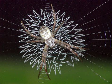 why are spider webs a popular decoration in poland the spiders that decorate their own webs the ark in space