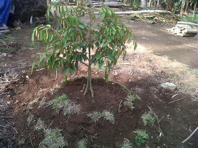 tips tips agar pohon durian pendek berbuah lebat kebun sayuran