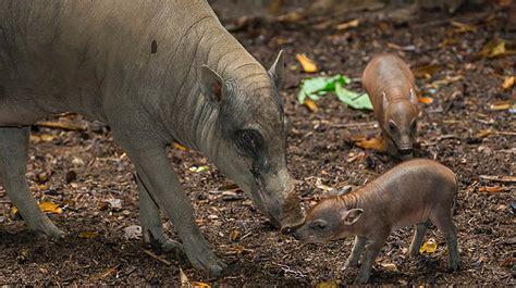 zoo animals babirusa san diego zoo animals plants