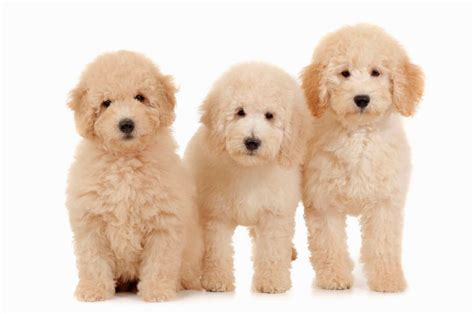 mini doodle rescue mini goldendoodle puppies rescue puppies puppy