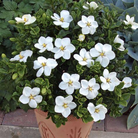 Gardenia Kleim S Hardy Pruning Pruning Gardenias In Atlanta Landscaping My Personal