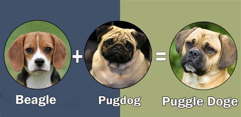 puggle pomeranian mix top 10 cross breeds designer of pug by dogmal