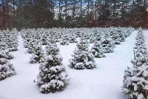 start christmas tree farm start a tradition at these michigan tree farms michigan