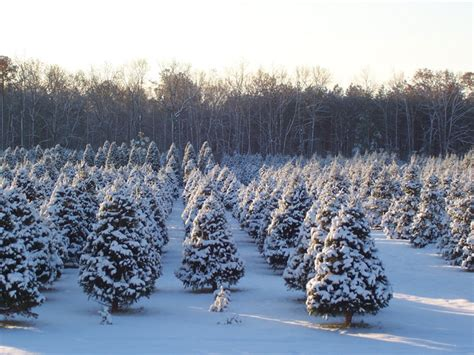 local christmas tree farms