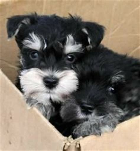 miniature schnauzer puppies for sale florida beautiful dogs on breeds bulldogs and tibetan mastiff