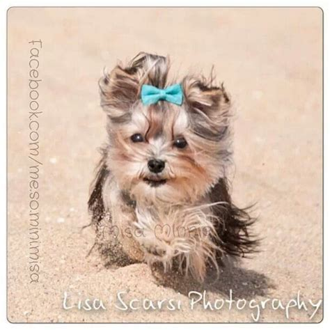 misa yorkie 59 best images about misa minnie on therapy dogs yorkie and toys