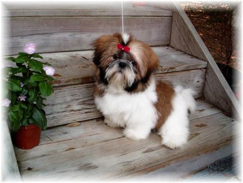 brown shih tzu for sale for sale brown and puppys on