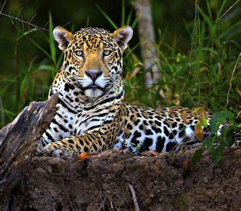 el jaguar jaguar s blog el jaguar est 225 en peligro cr 237 tico por la reducci 243 n de su