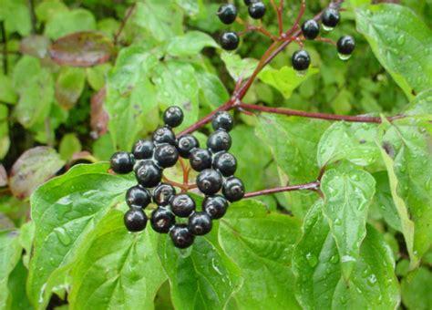 Arbuste Baies Noires by Le Cornouiller Sanguin La Nature En Lorraine Au Fil Des