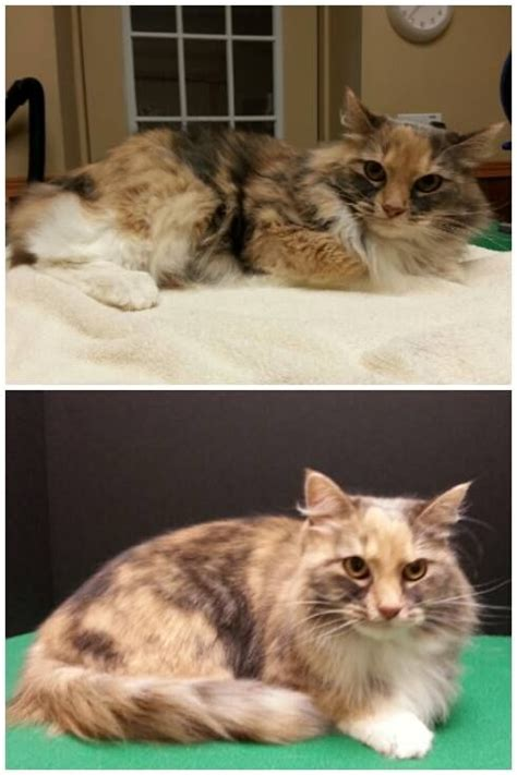 before and after cat haircuts 1000 images about cat grooming by kristen on pinterest