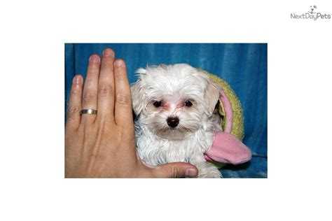 cheap puppies for sale in ma cheap teacup maltese puppies for sale in nc breeds picture