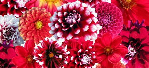 fiori dalia dalia consigli su come piantare i bulbi da fiore