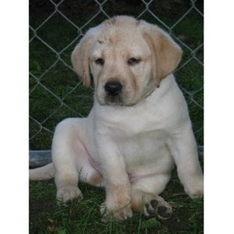 lab puppies for adoption in nj shamrock labradors labrador retriever breeder in randolph new jersey listing id 10626