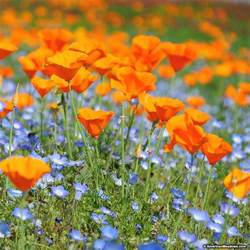 california poppy california poppy seeds eschscholzia american meadows