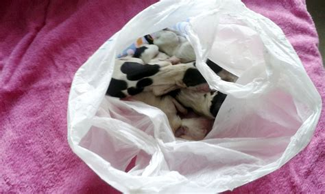 leaving puppies spaniel found on roadside bag of dead puppies in lincolnshire metro news