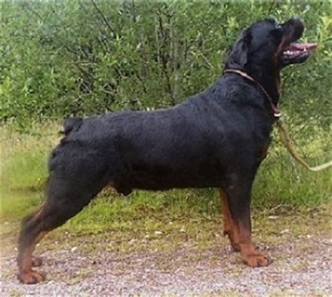 rottweiler with docked ckc rottweiler standard karma s rottweilers