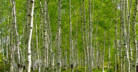 varieties of birch trees ehow uk