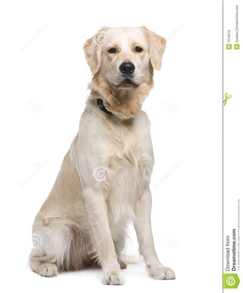 1 year golden retriever golden retriever 1 year royalty free stock images image 7510579