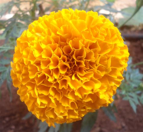file tagetes erecta marigold flower at madhurawada 03 jpg