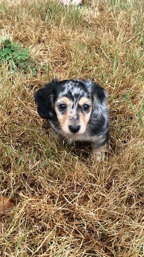 dotsons puppies 25 best ideas about dachshund puppies on