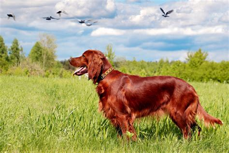 irish setter dog irish setter puppies for sale from reputable dog breeders