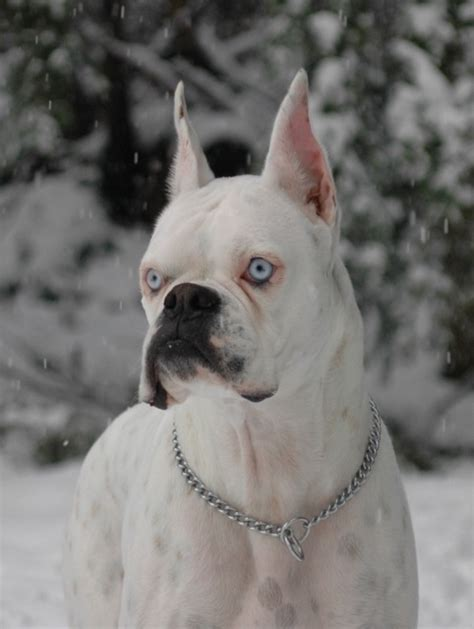 blue boxer puppies 17 best images about white boxers with blue on boxer puppies foster