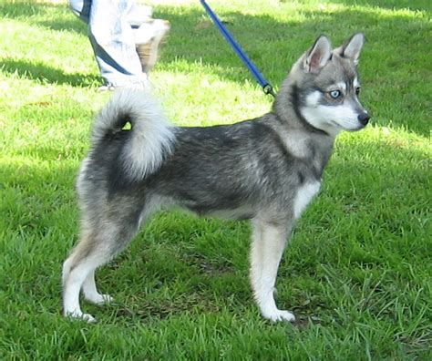 alaskan breeds alaskan klee breed guide learn about the alaskan klee