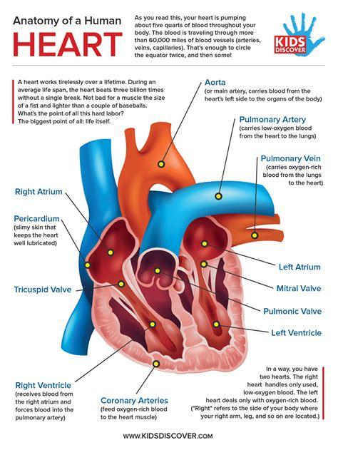 libro infographics human body human heart anatomy los libros resumidos de resumelibros tk