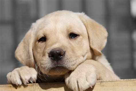 best puppy food for labs labrador puppies the best food you can buy for your lab puppy