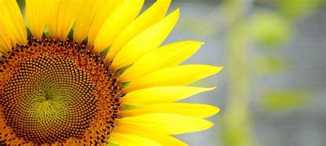 fiori di girasole coltivare il girasole nell orto o in vaso