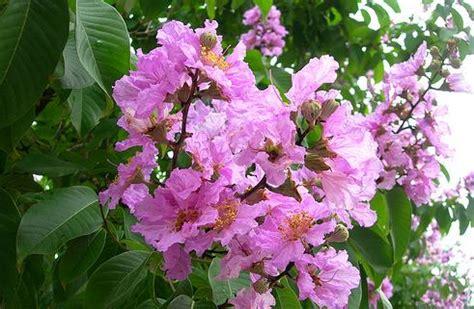 manfaat bunga bungur berbagi