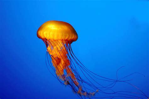 jellyfish wallpaper for walls jellyfish hd desktop wallpapers stock photos desktop