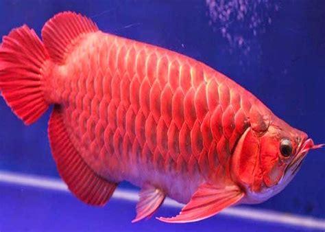Makanan Ikan Hias Terbaik 9 makanan ikan arwana terbaik dan waktu yang tepat memberi