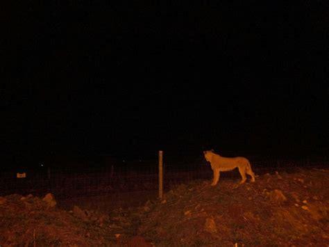 Lang Along lioness sighted along lang ata road photos