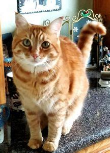 Adoptable Cat Buddy In Spokane Wa Flickr by Rehomed Honey Orange Tabby Maine Coon Mix California