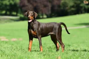 dobermann breed information buying advice photos and