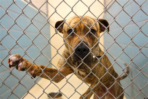 animal shelter testing la officials contemplate so called