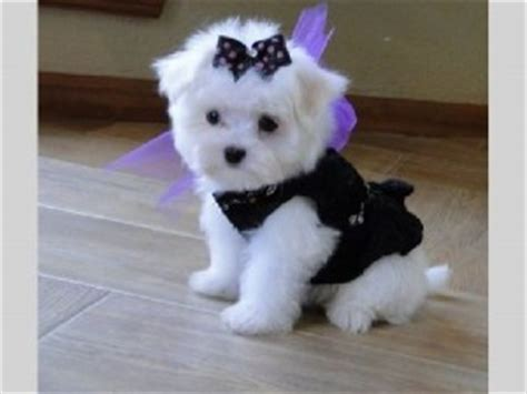 teacup maltese puppies for sale in nc dogs winston salem nc free classified ads