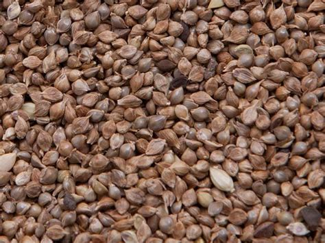 japanese seed millet japanese seed des moines feed