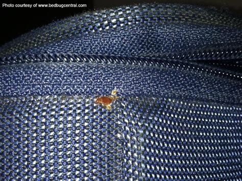 how to kill bed bugs in clothes bed bug eggs in clothes