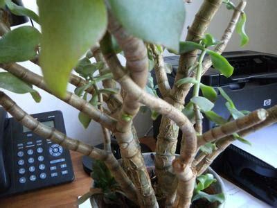 woody stems light green greyish waxy leaves
