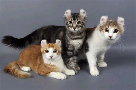 Do Kittens Shed by How Much Do American Curl Cats Shed About Animals