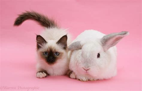 kitten background pets birman kitten and white rabbit on pink background