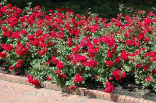Curb Appeal Plants - champlain rose rosa champlain in inver grove heights minnesota mn at gertens